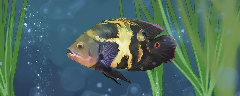 地图鱼能活多久,能长多大