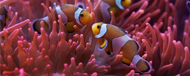 小丑鱼和海葵是什么关系,喜欢什么海葵