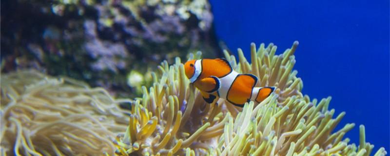 小丑鱼是淡水鱼吗,能不能用淡水养