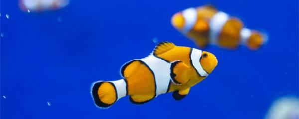 小丑鱼是海水鱼吗,能不能用淡水养