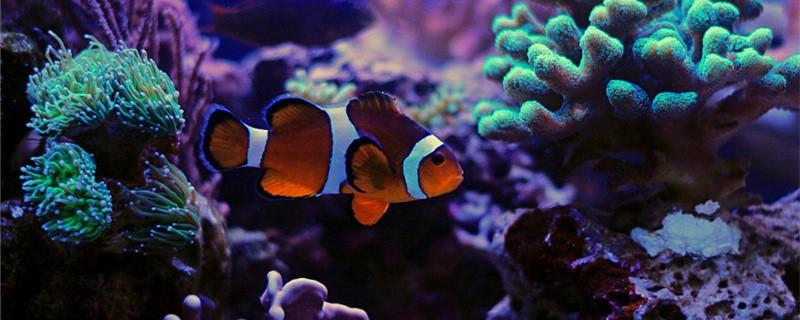 小丑鱼寿命有多长,能长多大