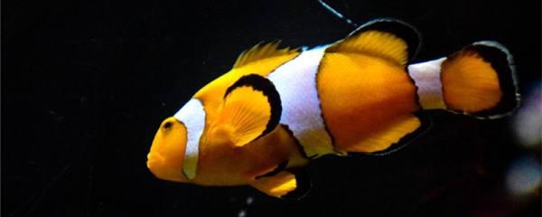 小丑鱼怎么繁殖,一年能繁殖几次