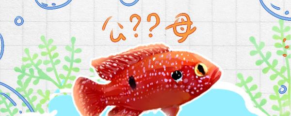 红宝石鱼怎么分公母,公母能一起养吗
