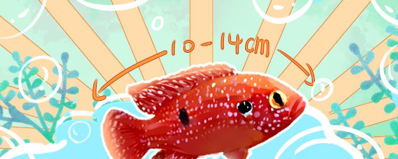 红宝石鱼能长多大,寿命多长