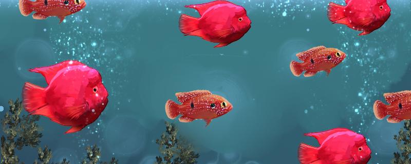 红宝石鱼和什么鱼混养,能和迷你鹦鹉混养么