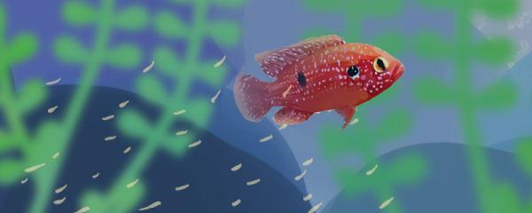 红宝石鱼什么时候繁殖,繁殖前有什么征兆