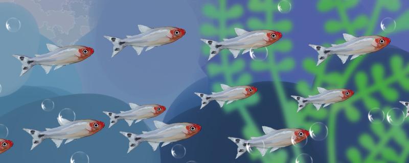 红鼻剪刀混养什么好看,能和什么鱼一起养