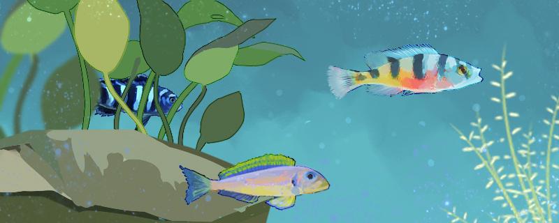 三湖慈鲷多久吐出小鱼,小鱼怎么养