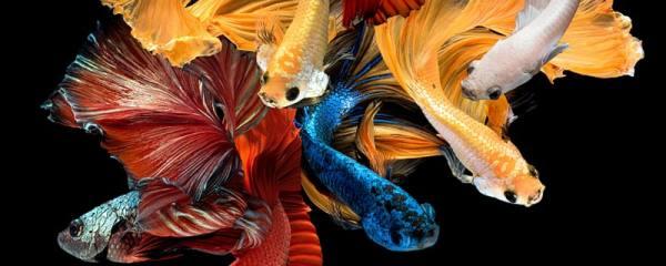 斗鱼怎么分公母,公母能一起养吗