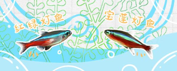 宝莲灯鱼与红绿灯区别,宝莲灯鱼长什么样