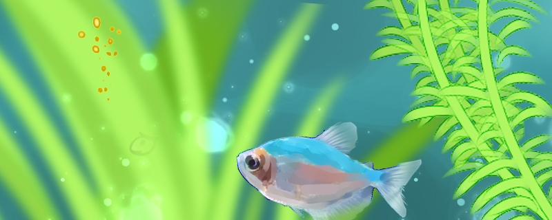 彩裙鱼不吃东西是什么原因,怎么处理