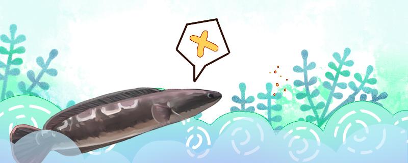 大铅笔鱼为什么不吃东西,不吃食咋办