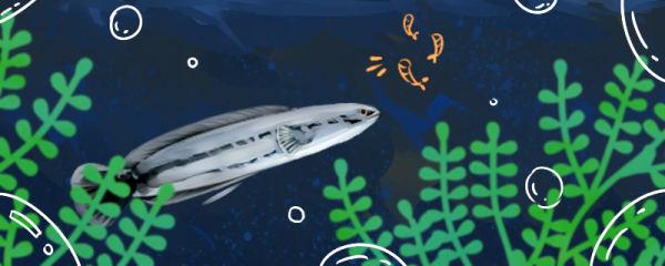 大铅笔鱼繁殖方法,幼鱼开口吃什么