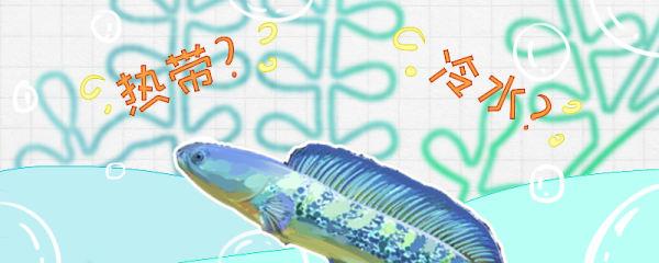 雷龙鱼是热带鱼还是冷水鱼,水温多少合适