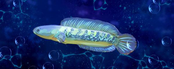 雷龙鱼怎么繁殖,多久繁殖一次