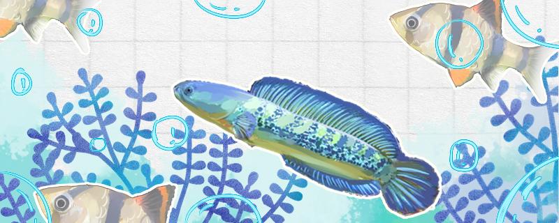 雷龙鱼怎么分公母,公母能一起养吗