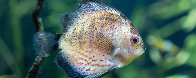 七彩神仙鱼寿命是几年,可以长多大