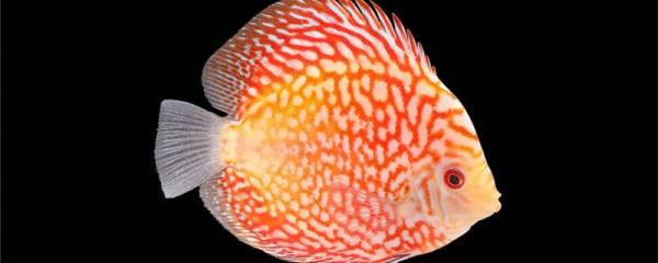 七彩神仙鱼繁殖方法是什么,什么时候繁殖