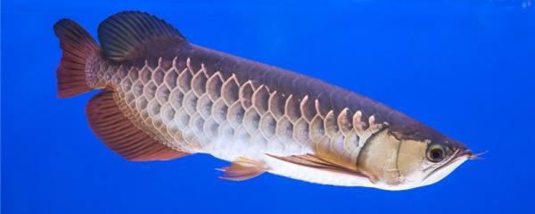 龙鱼跳缸是什么原因,该怎么治疗