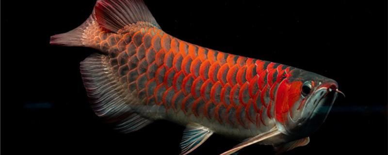 红龙鱼水温多少度最好,多少度发色好