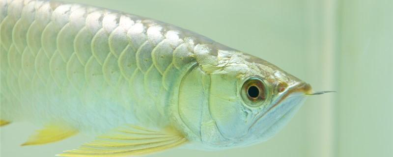 龙鱼是海水鱼还是淡水鱼,养殖时需要放盐吗
