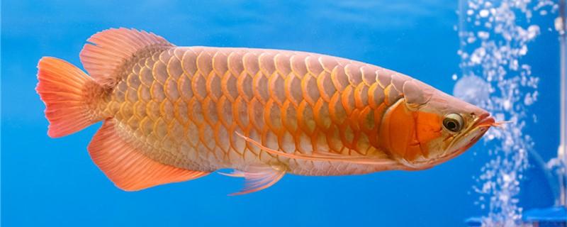 龙鱼吃泥鳅吗,吃什么发色好