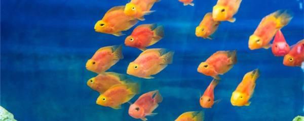 鹦鹉鱼产卵的征兆是什么,如何产卵