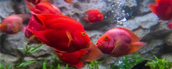鹦鹉鱼和什么鱼混养好,能和孔雀鱼混养吗