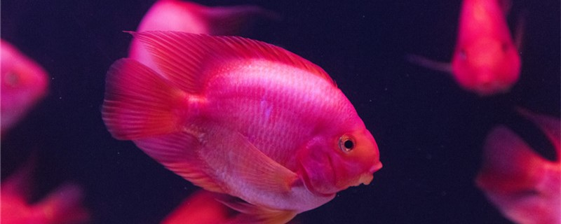 鹦鹉鱼怎么养最红,喂什么饲料能变红