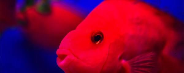 新手如何养鹦鹉鱼,鹦鹉鱼养殖要点介绍