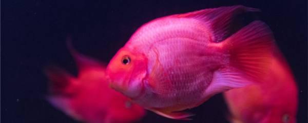 养多少鹦鹉鱼能不打架,怎么阻止鹦鹉鱼攻击