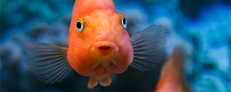 鹦鹉鱼嘴肿了是什么原因,会自愈吗