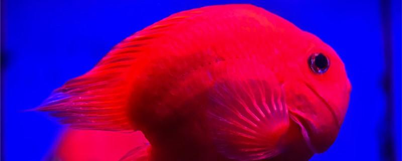 红鹦鹉鱼变白了是什么原因,怎么治疗