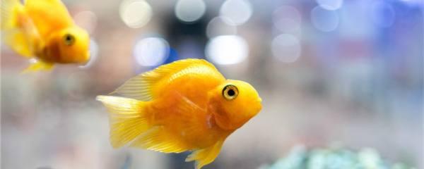 鹦鹉鱼为什么互相打架,打架怎么制止