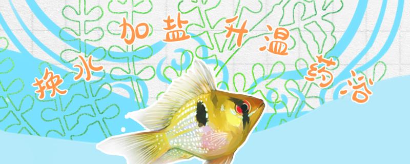 荷兰凤凰鱼白点病怎么治,常见病的处理方法介绍