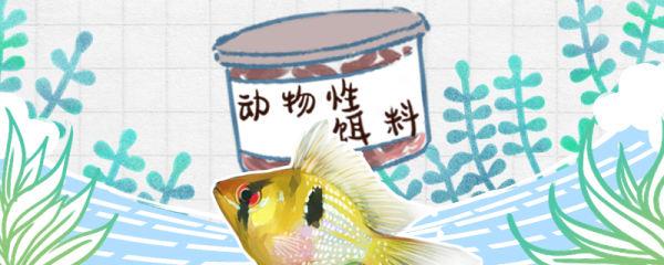 荷兰凤凰鱼吃什么饲料好,不吃东西是怎么回事
