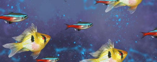 荷兰凤凰鱼能和迷你鹦鹉混养吗,能和什么一起养