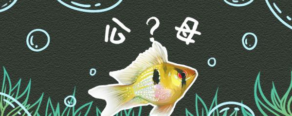 荷兰凤凰鱼怎么分公母,繁殖方法介绍