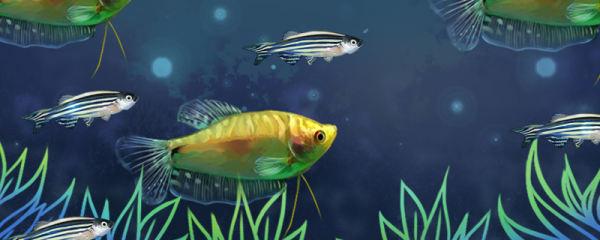 金曼龙和哪些鱼养不打架,能和什么鱼混养