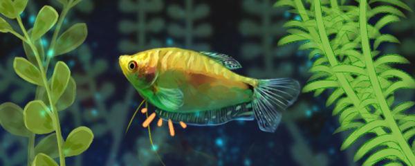 金曼龙鱼的繁殖特征是什么,如何进行繁殖
