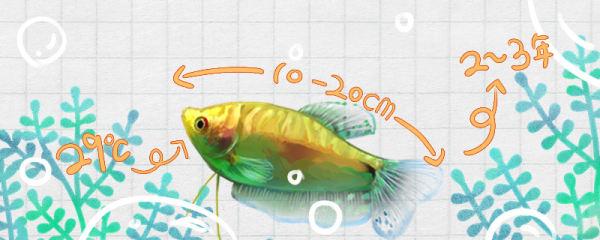 金曼龙鱼能长多大,寿命有多长