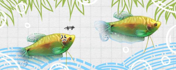 金曼龙鱼为什么追逐打架,如何减少纠纷