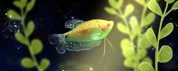 金曼龙鱼怎么养,金曼龙好养吗