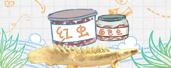 恐龙鱼吃什么,不吃东西怎么办