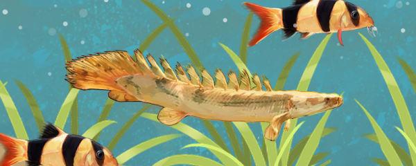 恐龙鱼能混养哪些鱼类,和什么养在一起更好