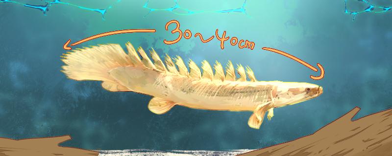 恐龙鱼能长多大,怎么养才长得大