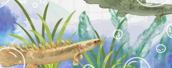 恐龙鱼品种有哪些,如何进行分辨