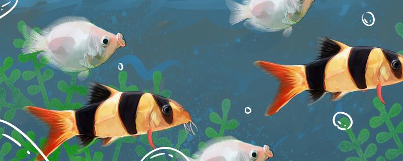 三间鼠鱼能和什么鱼混养,混养要注意什么