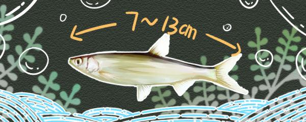 白条鱼能长多大,能活多久