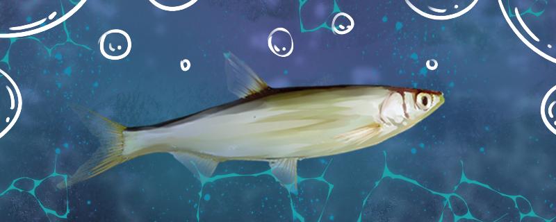 白条鱼是什么鱼,能养殖吗